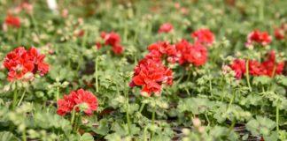 Agrosaveti - Proizvodnja cveća u Lukinom selu 1