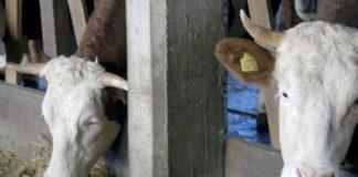 Agrosaveti - Farma krava i proizvodnja mleka u selu Gola Glava 4