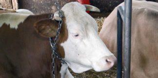 Agrosaveti - Generacijska proizvodnja mleka u selu Mratisic 1