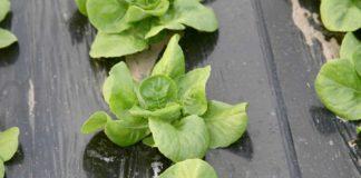Agrosaveti - Savremena povrtarska proizvodnja u Muzlji 1