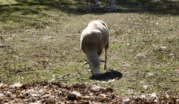 Agrosaveti - Uzgoj Il De France ovaca u Ravnom Selu 02