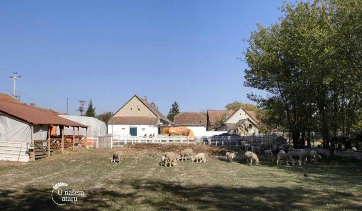 Agrosaveti - Uzgoj Il De France ovaca u Ravnom Selu 03
