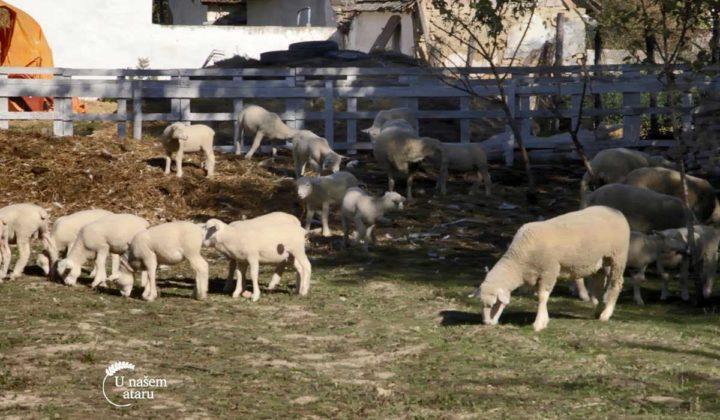 Agrosaveti - Uzgoj Il De France ovaca u Ravnom Selu 04