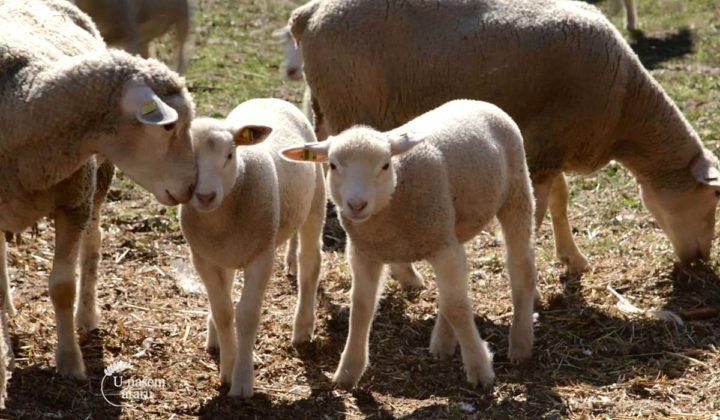 Agrosaveti - Uzgoj Il De France ovaca u Ravnom Selu 05