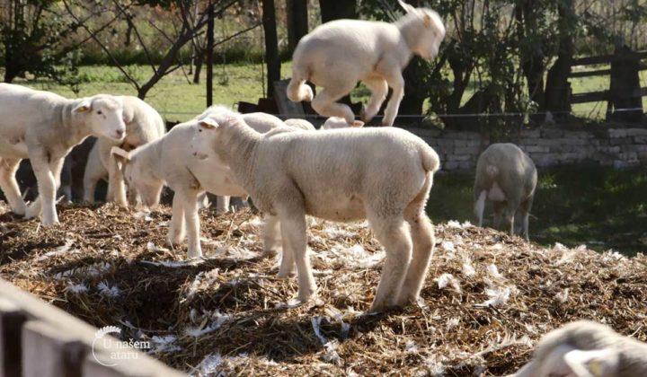 Agrosaveti - Uzgoj Il De France ovaca u Ravnom Selu 06