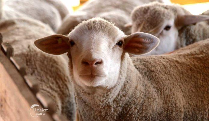 Agrosaveti - Uzgoj Il De France ovaca u Ravnom Selu 07