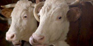 Agrosaveti - Farma krava i tov u selu Zabari - 01