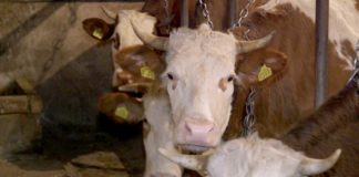Agrosaveti - Farma krava u selu Vukovac - 01
