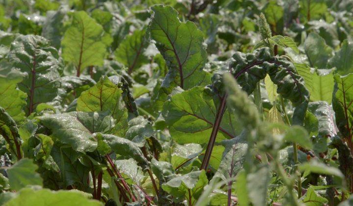 Agrosaveti - Savremena proivodnja povrca 05