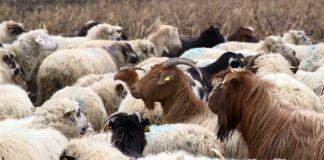 Agrosaveti - koza 04