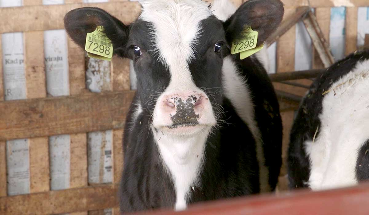 Agrosaveti - Farma Krava I Proizvodnja Mleka Vukmanov 04