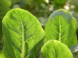 Agrosaveti - Organska proizvodnja povrća u Futogu - 02