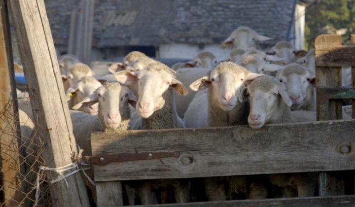 Agrosaveti - Prednosti uzgoja ovaca u Srbiji-02
