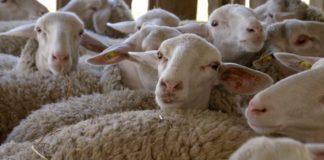 Agrosaveti - Prednosti uzgoja ovaca u Srbiji-03