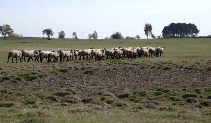 Agrosaveti - Prednosti uzgoja ovaca u Srbiji-04