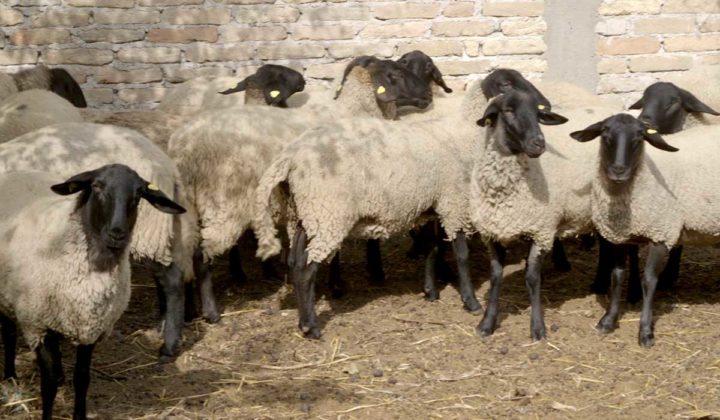 Agrosaveti - Prednosti uzgoja ovaca u Srbiji-09