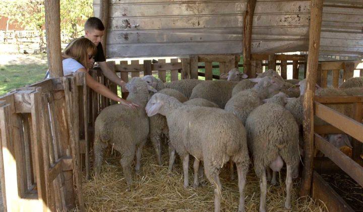 Agrosaveti - uzgoj ovaca u Ravnom Selu - 02