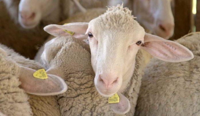 Agrosaveti - uzgoj ovaca u Ravnom Selu - 03