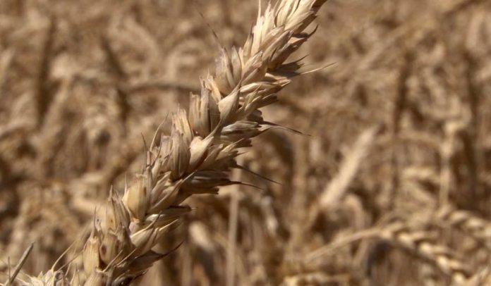 Agrosaveti - Pšenica 02