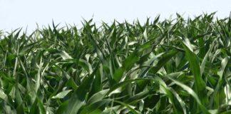 Agrosaveti-Kukuruz 1