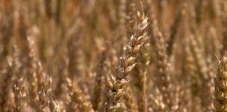 Agrosaveti - Psenica 2
