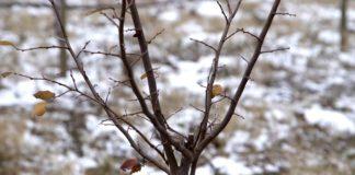 Agrosaveti - Vocnjaci Sneg 01
