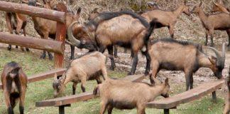 Agrosaveti - Alpino koze Sokobanja 01