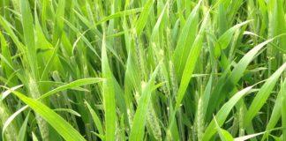 Agrosaveti - Psenica zelena bolesti 01
