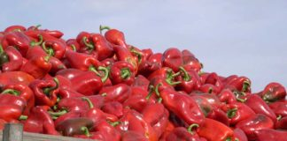 Agrosaveti - Uzgoj paprika Gospođinci 01