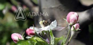 Agrosaveti-Adama--Jabuka-Roze-pupoljak-Pcela