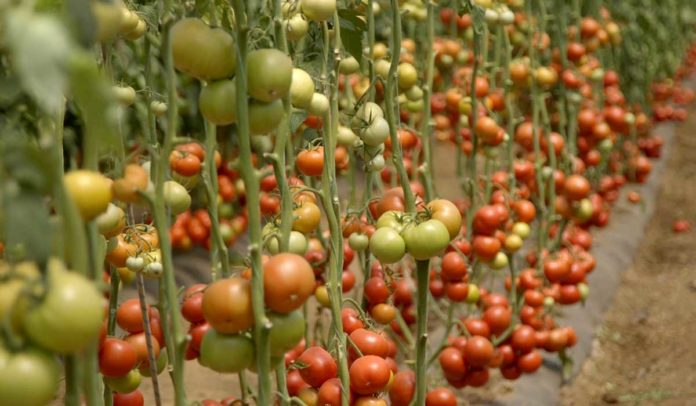 Agrosaveti-Pravilna ishrana paradjza-Timac Agro - 03