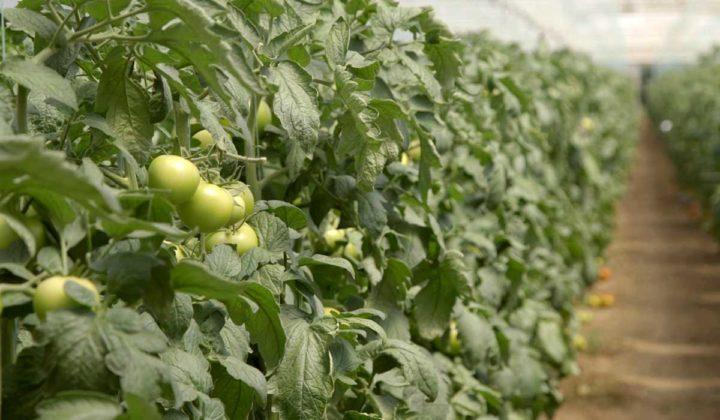 Agrosaveti-Pravilna ishrana paradjza-Timac Agro - 04