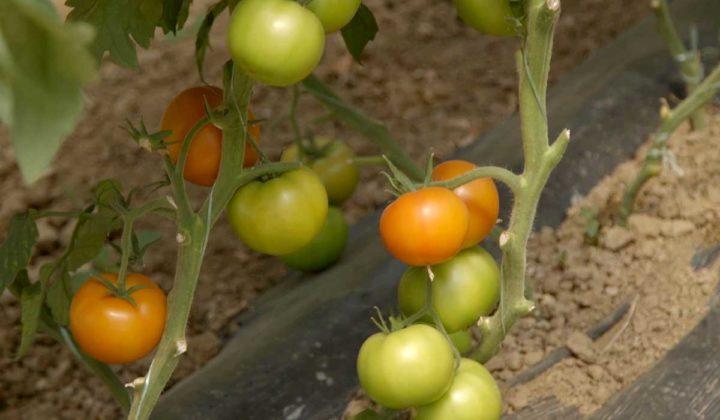 Agrosaveti-Pravilna ishrana paradjza-Timac Agro - 06