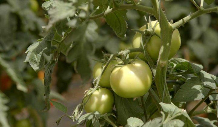 Agrosaveti-Pravilna ishrana paradjza-Timac Agro - 07