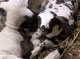 Agrosaveti - Cena jagnjetine 01