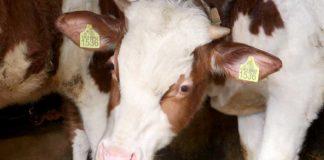 Agrosaveti - Farma krava Čurug 04