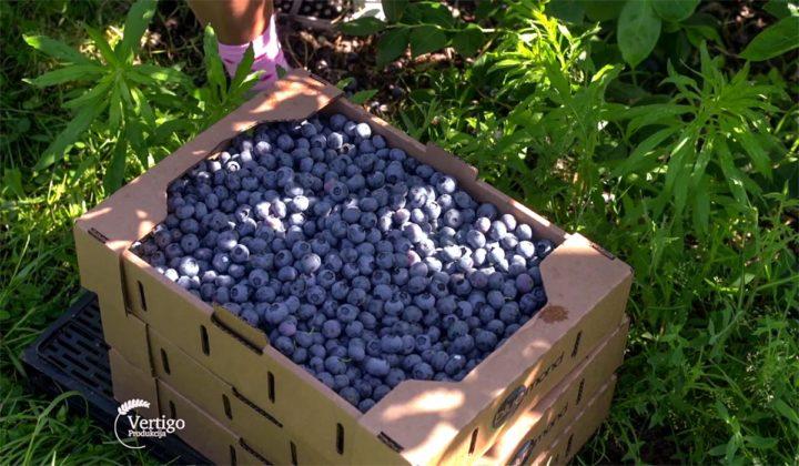 Agrosaveti - Proizvodnja borovnica Holandija 02