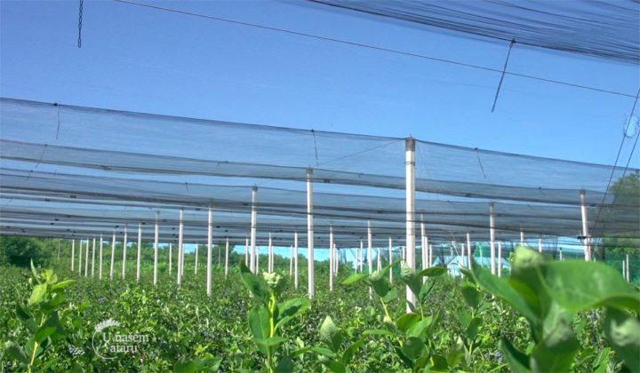Agrosaveti - Proizvodnja borovnica Holandija 04