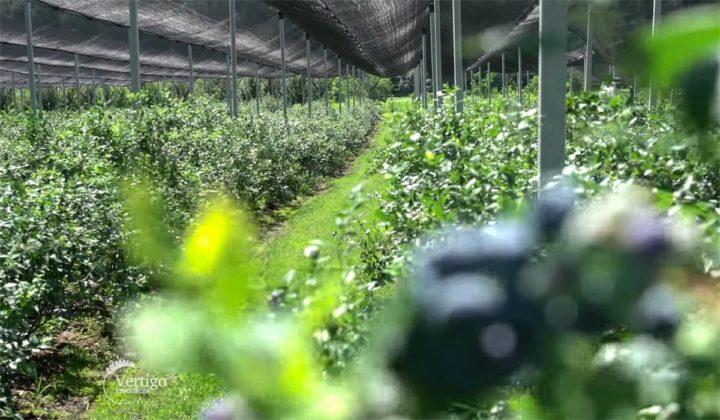 Agrosaveti - Proizvodnja borovnica Holandija 06
