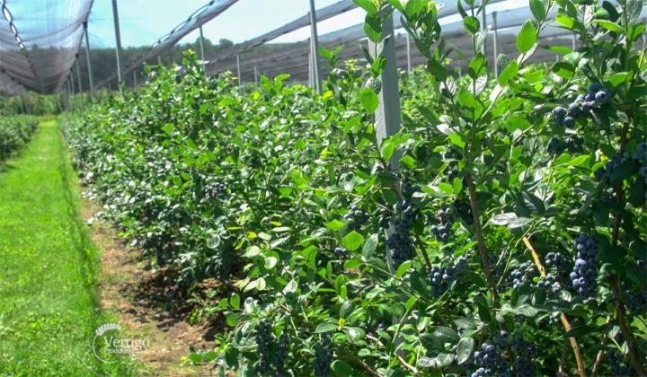 Agrosaveti - Proizvodnja borovnica Holandija 08