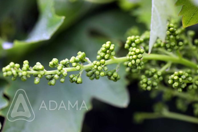 Agrosaveti-Adama---Vinova-loza---Plamenjaca---Pepelnica---Siva-Trulez-03