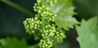 Agrosaveti---Adama---Vinova-loza---Stitasta-Vas-03