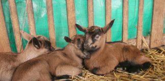 Agrosaveti - Alpska i sanska rasa koza 05
