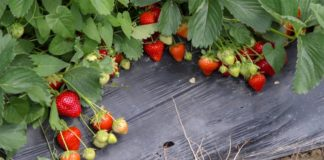 Agrosaveti - Berba jagoda Macva 07