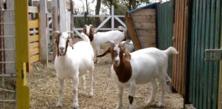 Agrosaveti - Burske koze i romanovske ovce Zabalj 05