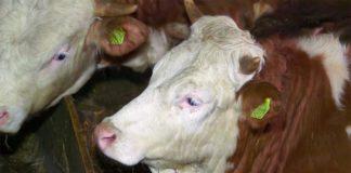 Agrosaveti - Farma krava i proizvodnja mleka Sokobanja 03