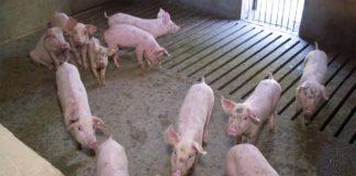 Agrosaveti - Farma svinja Sremska Mitrovica 07