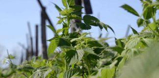 Agrosaveti - Organska malina Zica 06