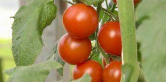 Agrosaveti-Plastenicka-proizvodnja-Gospodjinci-06-1024x597
