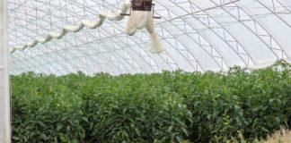 Agrosaveti - Proizvodnja rasada i povrca u plastenicima Ducina 04